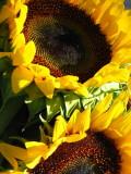 Sunflowers in the backyard Sag Harbor Hamptons NYC New York