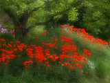 poppygarden