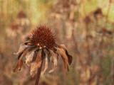autumn coneflower