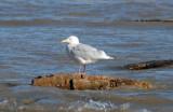 Glaucous Gull at Sheboygan, WI