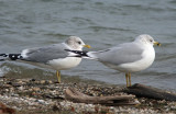 Mew Gull and Ring-billed Gull at South Shore Yacht Club, Milw.