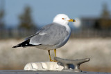 Ring-billed Gull at Racine, WI