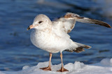 Ring-billed Gull at South Shore Yacht Club, Milw.