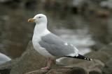 Herring Gull at Lakeshore Park, Fond du lac, WI