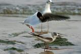 Litttle Gulls. Sheboygan,WI