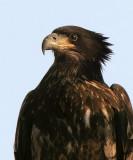 Juvenile Bald Eagles in the Wild
