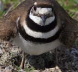 Shorebirds In Missouri