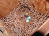 Cowbird in Bluebird nest - June 2002