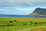 Icelandic horses along the northern shore of Snæfellsnes