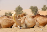 Camels resting on the edge of the Sahara, Timbuktu