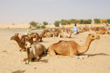Camels parked near the Flamme de la Paix, Tombouctou