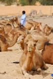 Tuareg walks among the camels