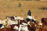 Man herding cattle, Central Mali