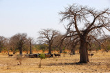 Baobab forest in western Mali between the Senegal border at Kidira and Kayes