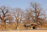 Donkey cart and baobab forest, Western Mali