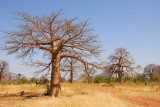 Baobab forest between Kidira-Diboli and Kayes, Mali