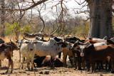 Cattle seeking shade beneath a baobab, Mali