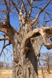Baobab, Mali