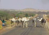 Camels crossing the Gao Highway