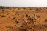 Camels in Eastern Mali