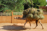 A camel loaded just shy of the last straw
