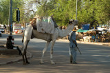 Camel in the streets of Niamey