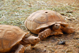 Tortoise, Niger National Museum zoo