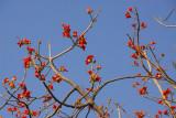 Blooming African Tulip Tree - Spathodea campanulata