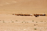 A herd of sheep in the desert, Syria