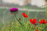 Wildflowers near the Krak des Chevaliers