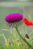 Syrian wildflower