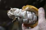 Cacao beans in pod