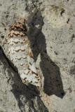 Moth Carapace I.jpg
