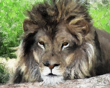 mr. lion 2 10x8