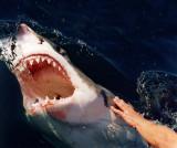 great_white_sharks