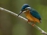 common kingfisher (Alcedo atthis)