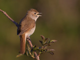 common nightingale (Luscinia megarhynchos)
