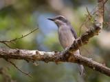Sri Lanka woodshrike(Tephrodornis affinis)