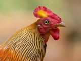 sri lanka junglefowl (m.) (Gallus lafayetii)