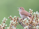 common nightingale  nachtegaal  Luscinia megarhynchos