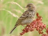 meadow pipit   graspieper (NL)  Anthus pratensis