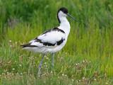 avocet (Recurvirosta avosetta)