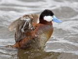 ruddy duck  rosse stekelstaart  Oxyura jamaicensis