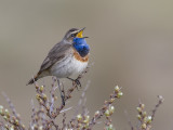bluethroat (Luscinia svevica)