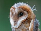 barn owl (juv.)