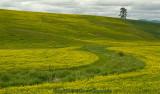 S-curve Mustard Field
