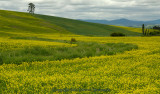 S-curve Mustard Field2