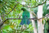 Juvenile king parrot on verandah