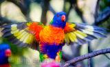 Rainbow lorikeet flapping its wings