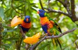 Two rainbow lorikeets with mango